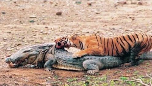 老虎河边喝水,遭到鳄鱼偷袭,实力碾压鳄鱼
