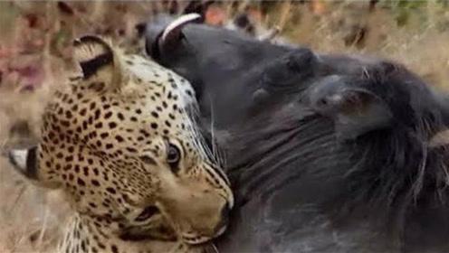 长相彪悍的野猪,遇到豹子毫无还手之力,镜头记录全过程!
