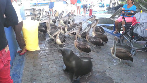 渔港码头,一群大鸟天天蹲守鱼贩摊位等吃的!