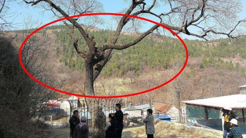 """山东村庄内藏""""国宝"""",全国唯一棵降龙树,一开花十里飘香!"""