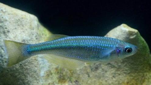 最坚强的鱼,在沙漠中存活了6万年,只剩下38条!