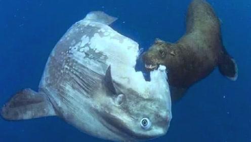 世界上最智障的鱼,被吃一半都反应不过来,却不担心会灭绝