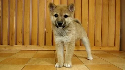 喜获一只长相超憨厚的小柴犬,看这呆萌的表情真是可爱炸了!