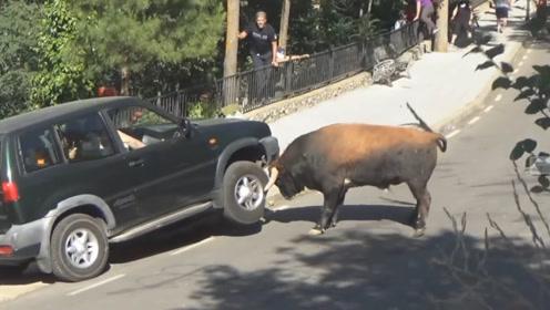 公牛 vs 越野车,到底是谁更坚硬?别眨眼,看仔细了!