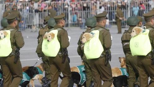 萌化了!智利阅兵式,呆萌军犬超级抢镜