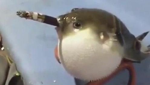 男子让河豚吸烟,河豚一口气抽完一根烟,下一秒河豚怎么了