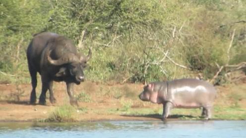 小河马看到鳄鱼就忍不住欺负它,看到野牛就秒怂,镜头拍下全过程