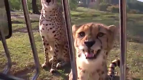 猎豹为了和游客讨点吃的,竟学着猫咪卖起萌来,这叫声太软萌了