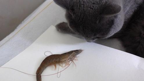猫咪对大虾完全不感兴趣,看来它还没习惯吃海鲜