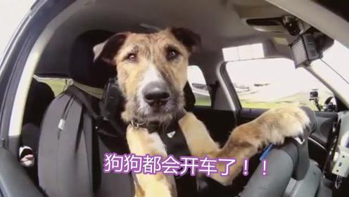 别说驾照难考了!国外流浪狗都比你强,训练2月就上路了!