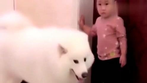 小主人不听话,不料萨摩叼来拖鞋让妈妈打他,这狗太有意思啦