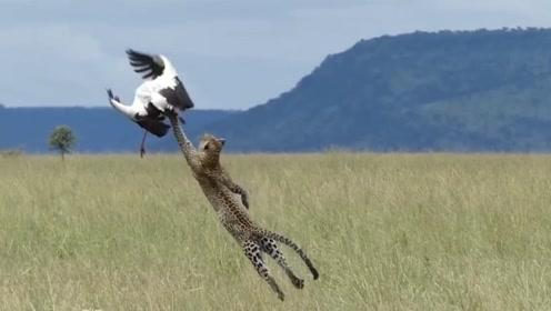 猎豹伏击大鸟,王者之间的速度比拼谁能胜出?