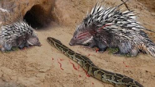小刺猬外出寻找食物,不料遭蟒蛇围堵,镜头记录过程!