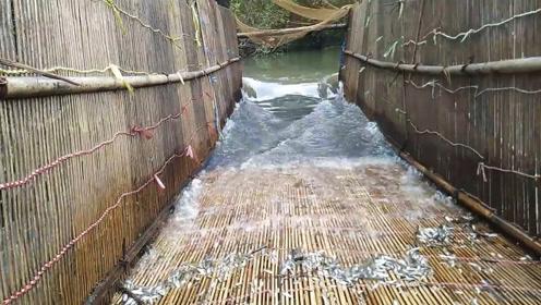 大叔自制竹网,丢进河中,每天收获几斤小鱼虾米