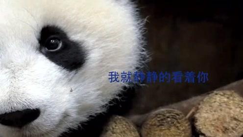 熊猫宝宝偷袭另一只熊猫,另一只说:我就静静的看着你!