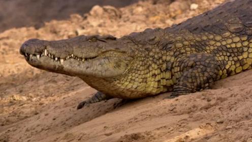 巨型鳄鱼水中偷袭水獭,却被水獭瞬间杀死,镜头拍下诡异一幕!