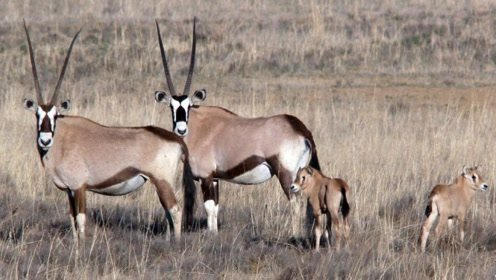 世界上交配时间最长的动物,竟要21天,难怪是易危物种?