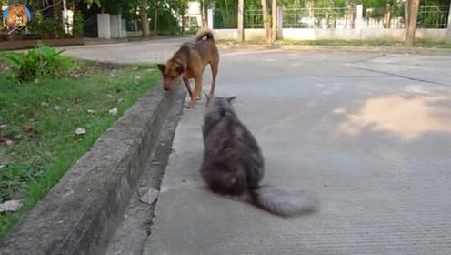 猫狗大战,狗的胆子是真的小,干叫唤半天却不敢动手