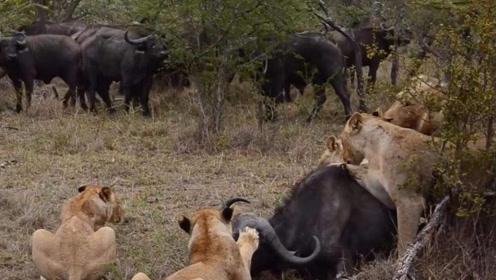 狮群猎捕小野牛,却惨遭野牛群的报复。镜头记录下全过程!