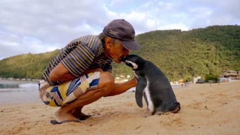 企鹅每年跨越5000英里海洋,只是为了他,网友:佩服