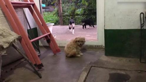 当主人敲响饭盆叫宠物吃饭时,猫咪赶紧低头吃着,小狗却一脸不开心