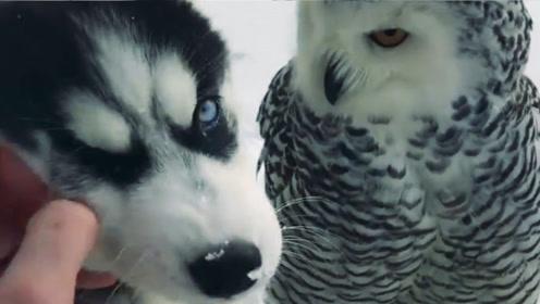 """猫头鹰和哈士奇的""""荷尔蒙"""",一段时间后,二哈你赢了!"""