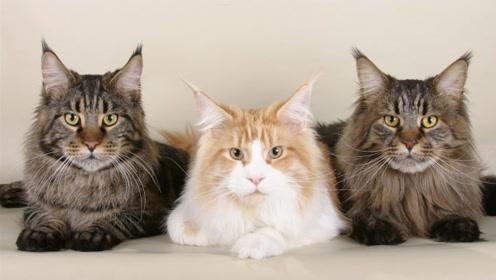 同时养三只猫会发生什么?喵星人:来看!主人不为人知的一面