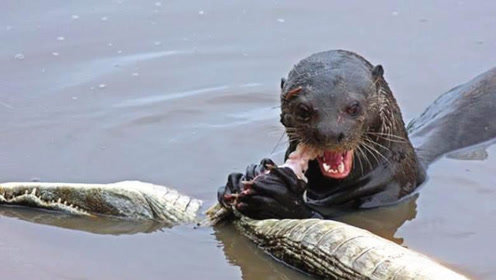 水獭看见鳄鱼,就像猫看见老鼠一样,吃鳄鱼就像吃口香糖