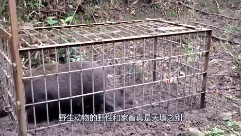 山猪太凶猛了,在笼子里还这么跳跃,真怕困不住它