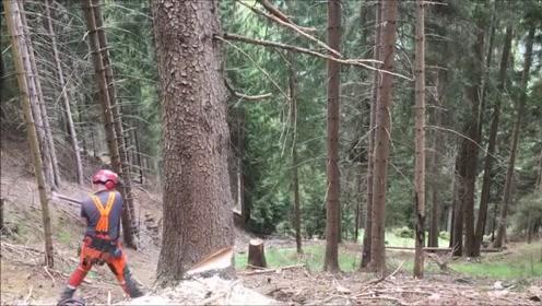 看看这个伐木工伐树,技术确实很牛