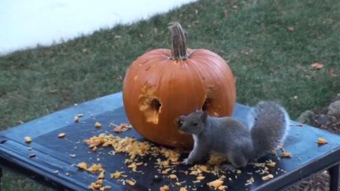 会做南瓜灯的小松鼠,帮主人省了不少心,有它在万圣节完全不用担心