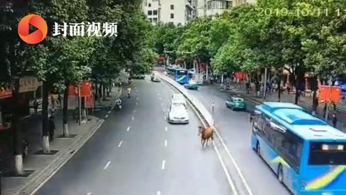 """看你往哪儿跑!闹市区突现脱缰马匹 交警化身""""赶马哥"""""""
