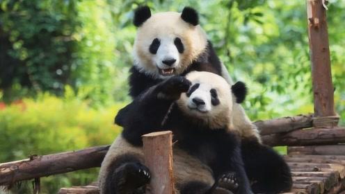 大熊猫死了之后,尸体要怎么处理?答案你猜破头也想不到!