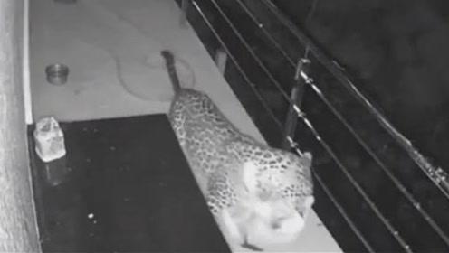美洲豹夜闯民宅,残忍杀害宠物狗,看完监控录像后,主人气疯了