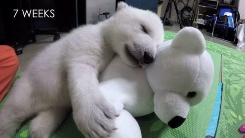 北极熊喜得玩偶,爱的根本停不下来,原因让人心酸