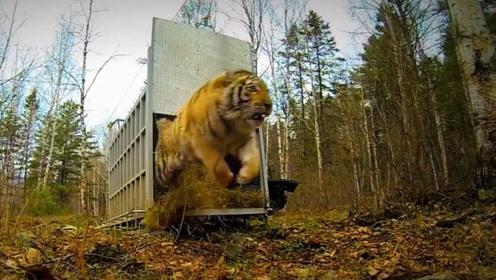 三头东北虎被放归森林,当笼子打开那一刻,镜头记录下意外画面