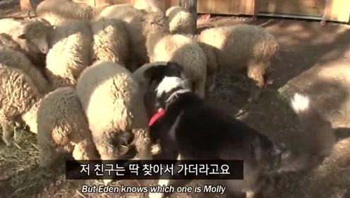主人让牧羊犬来管理羊群 谁知这个二货居然爱上了一只羊
