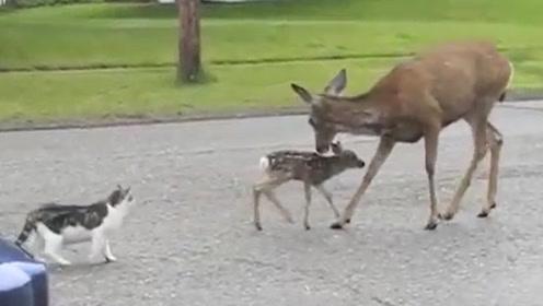 猫咪欺负小鹿,小鹿向鹿妈妈告状,结果鹿妈妈搞错了对象