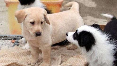 当土狗看到宠物狗时,会产生自卑心理吗?看完内心很不是滋味