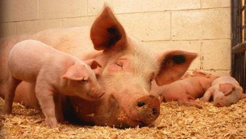 非洲猪瘟已经严重到什么地步了?