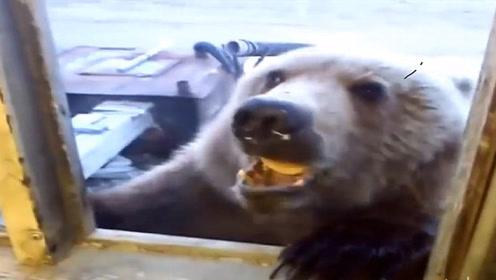 棕熊气势汹汹敲主人家窗户,不料被一块面包收买,请憋住不要笑