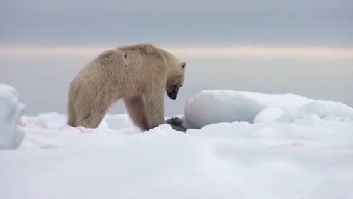 海豹:大爷来玩啊!北极熊:豹豹我来啦。这就是到处晒的后果