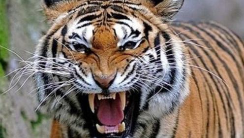 世界上最惨绝人寰的老虎,吃掉400余人,死后才揭开吃人真相!
