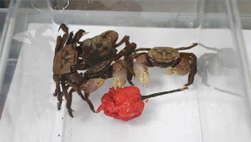 """主人让螃蟹吃""""死神辣椒"""",镜头记录""""蟹生巅峰""""的全过程!"""