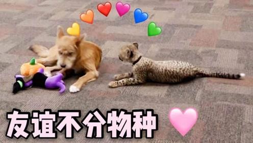 跨越物种的友谊太有爱!美国动物园一猎豹迷上小狗无法自拔
