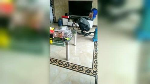 每次家里用吸尘器,狗子都往沙发上跑,感觉吸尘器就是它的克星!