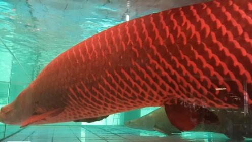 这种鱼的鳞片,像金属一样坚硬,食人鱼也咬不动它们的肉