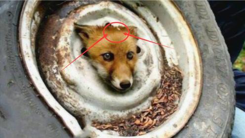 被轮胎卡住的小狐狸,好心人相救,多年后见到恩人,场面感人