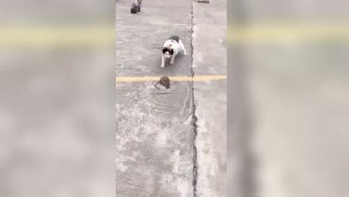 猫:小老鼠,还敢挑衅我,看我怎么把你按在地上摩擦!