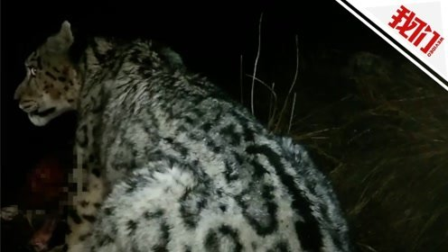 罕见!青藏高原雪豹偷食牦牛 牧民用手机拍下全过程